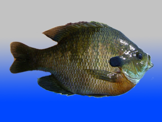 Live fish inverts insects live bluegill fingerlings for Bluegill fish tank