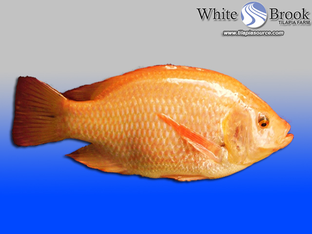 Organic Fish Food Tilapia