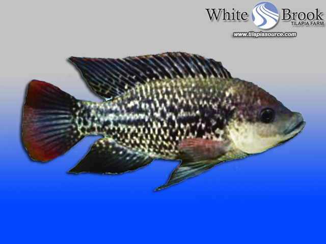 Live Fish Inverts Insects Tilapia Fingerlings