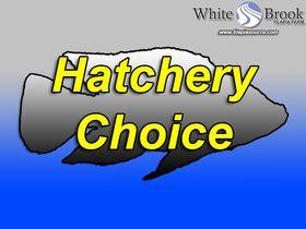 Hatchery Choice Tilapia Fingerlings