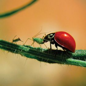 Lady Bugs - Natural Pest Control