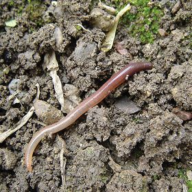 Red Wiggler Earth Worms, Eisenia fetida