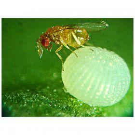 Trichogramma - Natural Pest Control