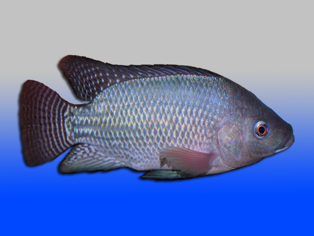 Live fish inverts insects live tilapia fingerlings for Is tilapia fish good for you