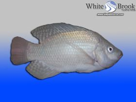White Brook White Nile Tilapia Fingerlings