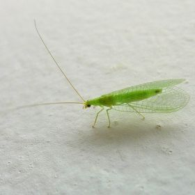Green Lacewing - Natural Pest Control